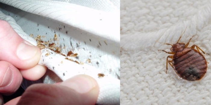 how to identify bed bugs Pest Control Southside