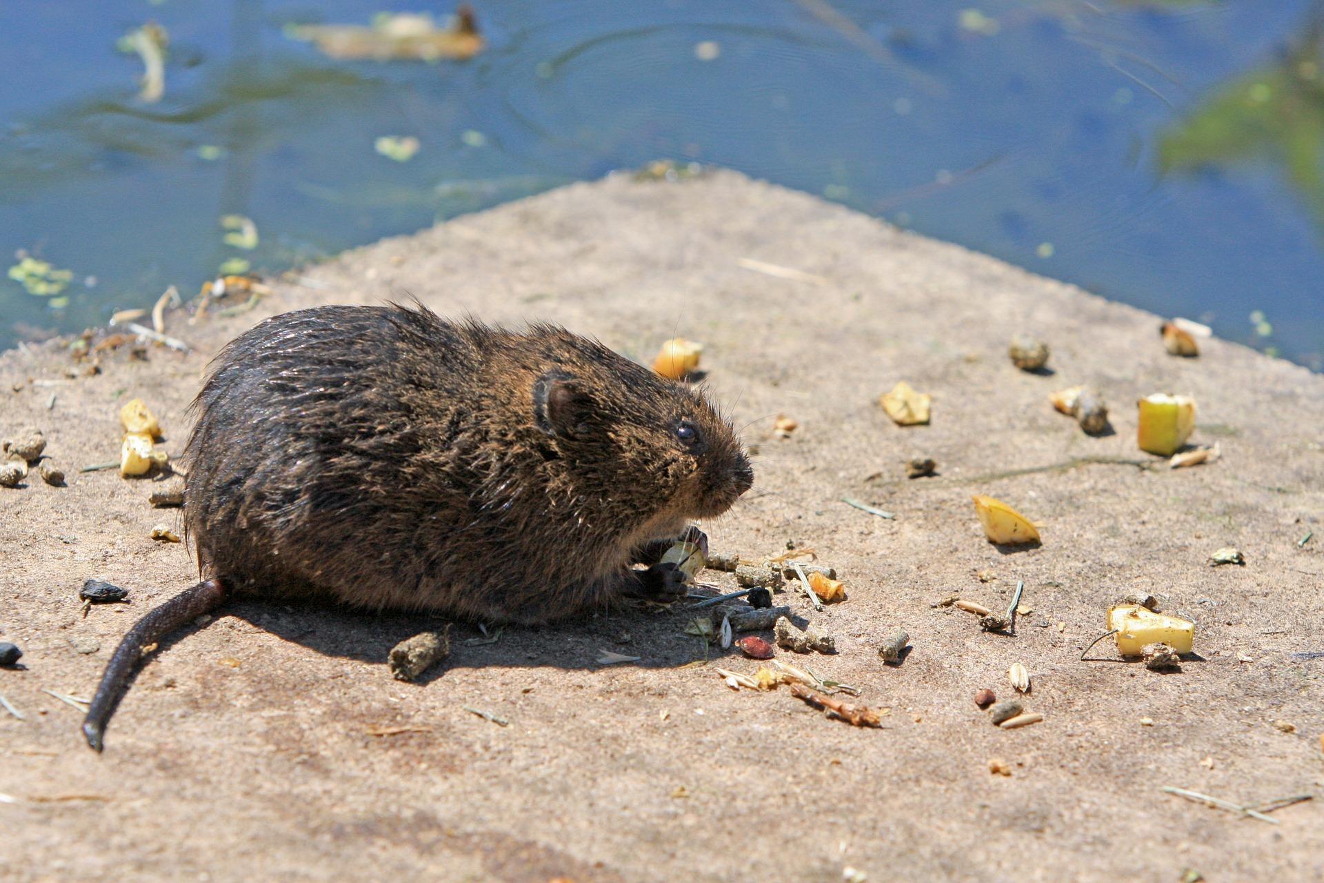 rat removal Pest Control Southside