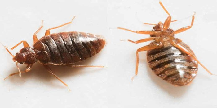 bed bug removal Pest Control Southside