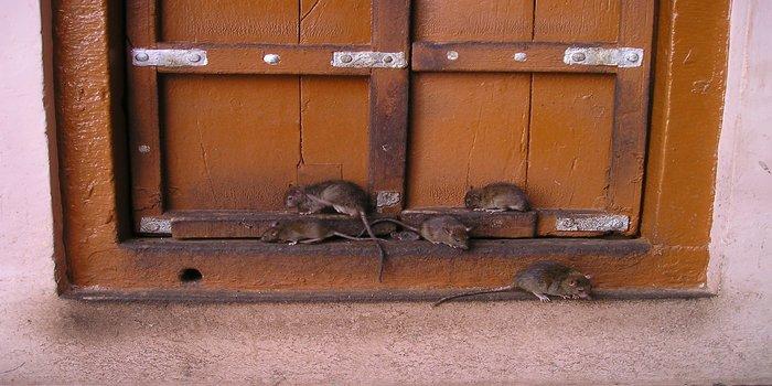 rat exterminator Pest Control Southside
