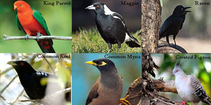 Common Bird types Brisbane