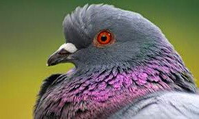 feral pigeon removal Pest Control Southside
