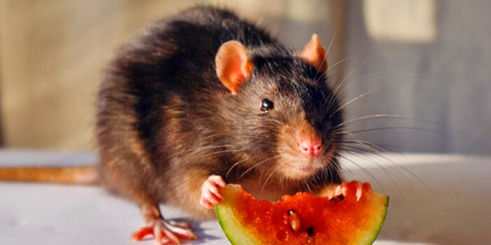 mouse eating watermelon Pest Control Southside