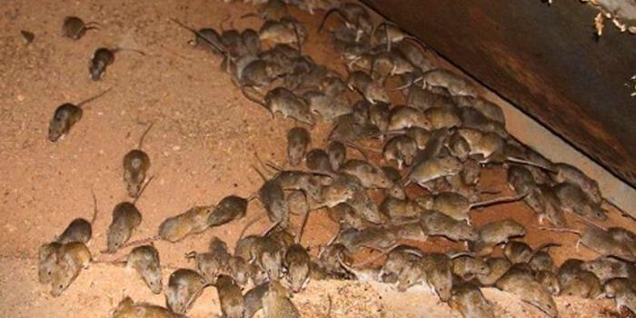 mouse pest infestation Pest Control Southside