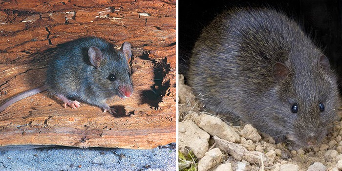 difference between mouse and rat Pest Control Southside