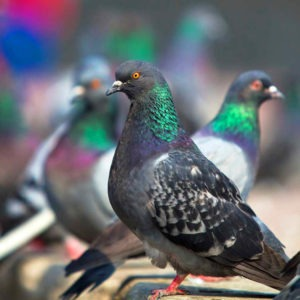 pigeons extermination Pest Control Southside