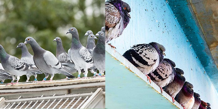 pigeons on rooftop