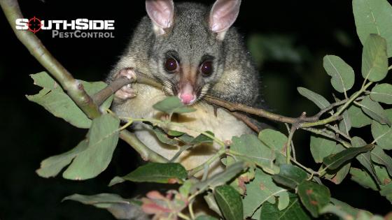 Possum Removal In Brisbane