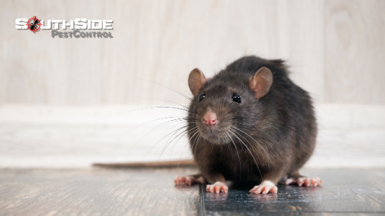 Brisbane Rat Control & Removal
