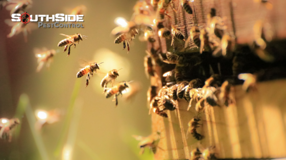 Brisbane Bee Removal